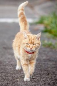 Katze mit Halsband und RFID-Chip